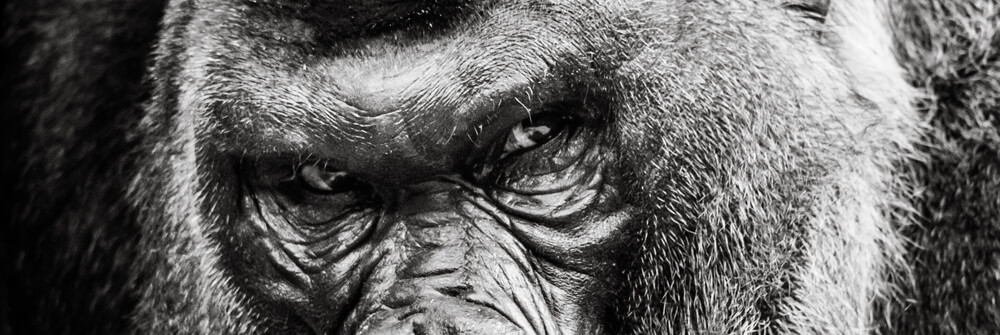 Fototapete mit Affen