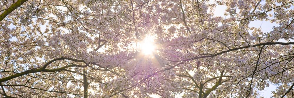 Fototapete Blüten online bestellen