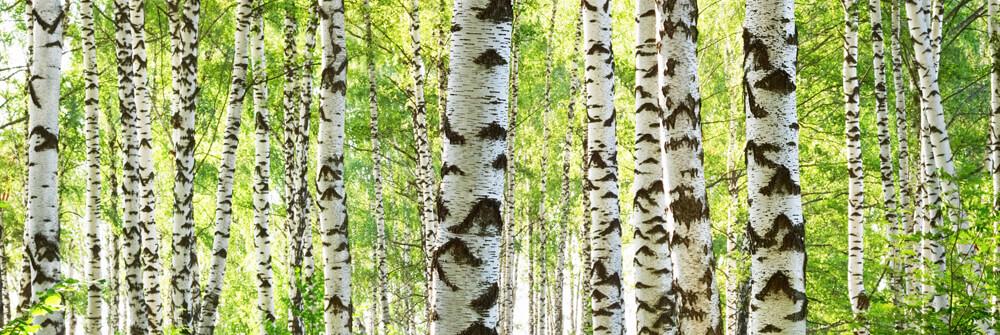 Fototapete Bäume günstig online bestellen