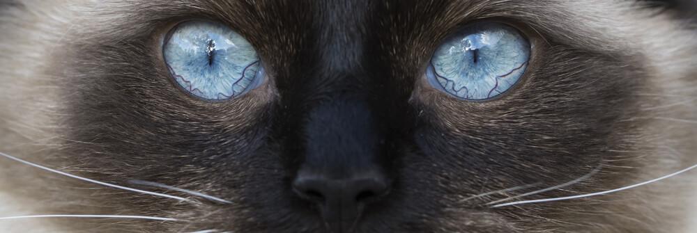 Fototapete Katzen