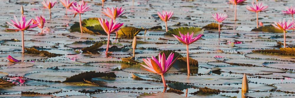 Fototapete Lotusblüte