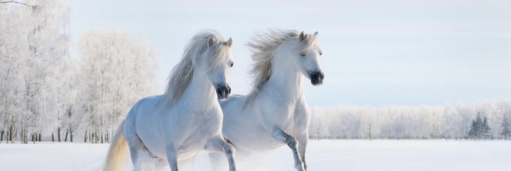 Fototapete Pferde