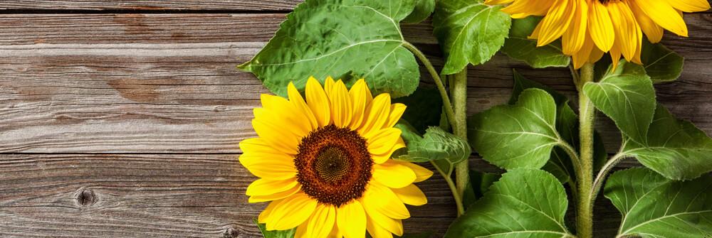 Sonnenblumen Tapete online bestellen